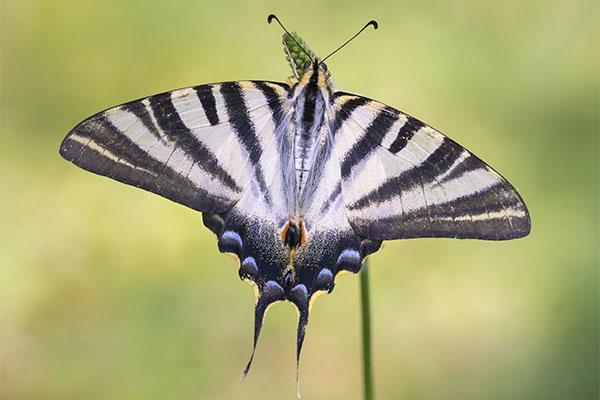 Pinpilinpauxa. Mariposa en euskera. Foto: Gotzon Ameztoi.