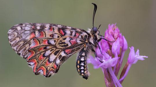 Pinpilinpauxa. Butterfly in Basque. Photo by Gotzon Ameztoi